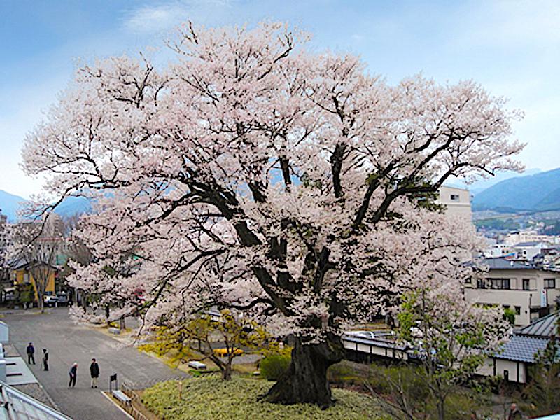 安富桜(飯田市美術博物館) | 信州Style