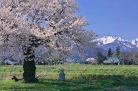 須沼の一本桜