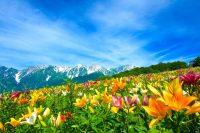 【閉園】白馬岩岳『ゆり園&マウンテンビュー』営業